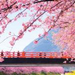 見頃はいつ? 河津桜を一足先に見てきました!